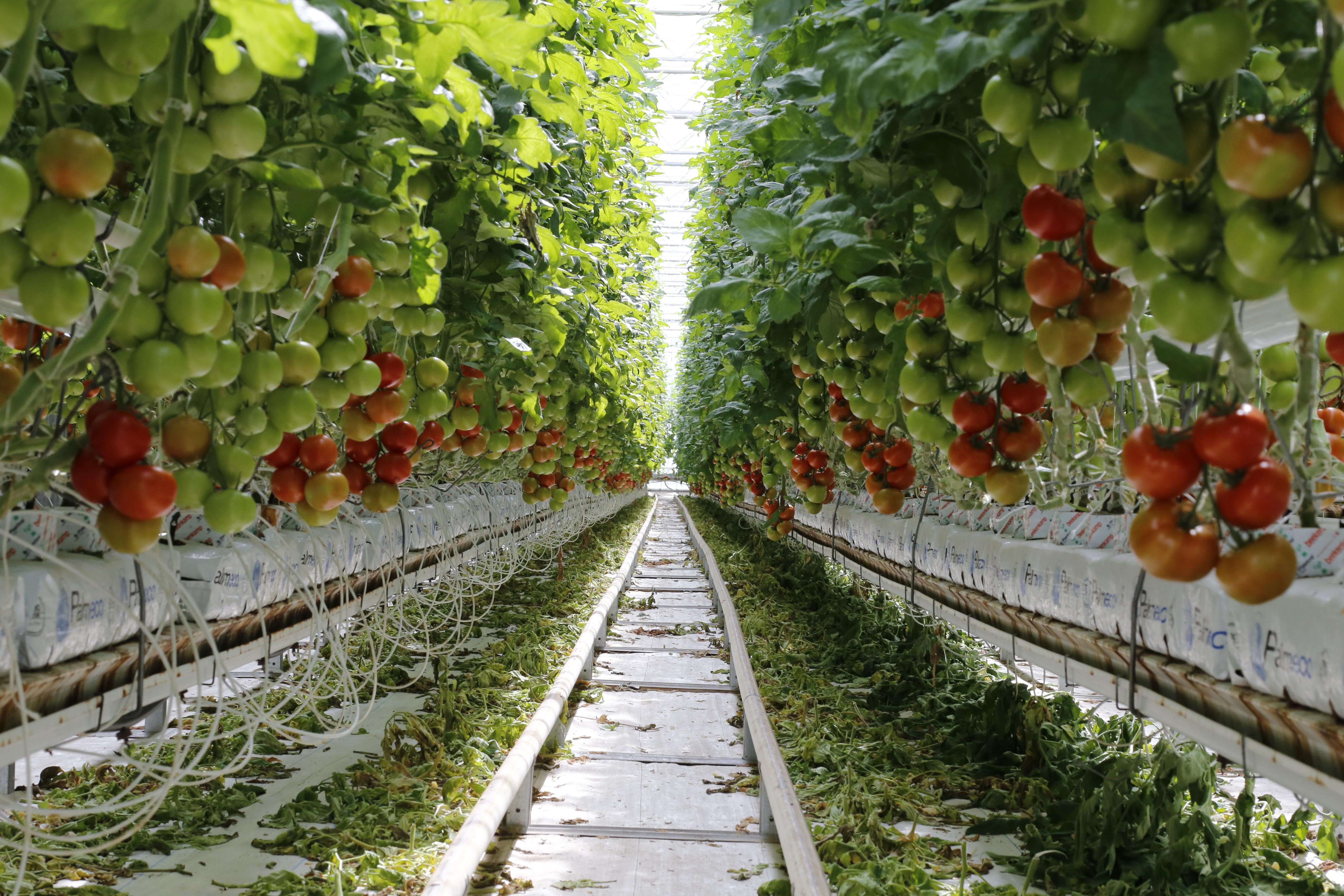 Tomates Crédits LID