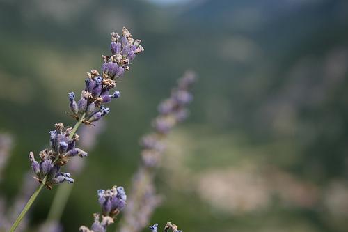 Une  tisane du soir au parfum de Provence