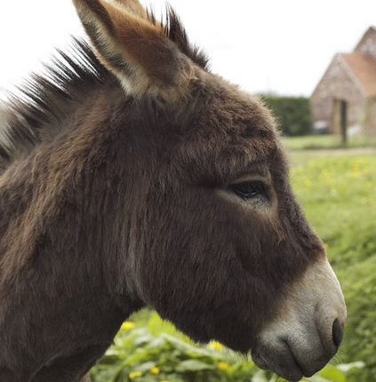 L'âne, un animal pas si bête