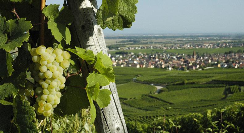 Les vignes © Nigab Pressbilder