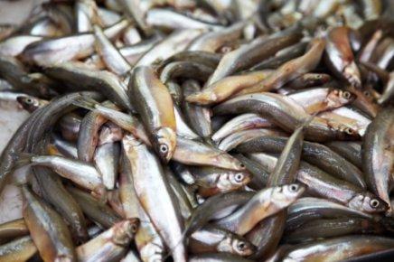A chaque saison son poisson !
