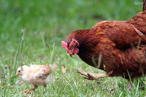 Quel poulet dans mon assiette ?