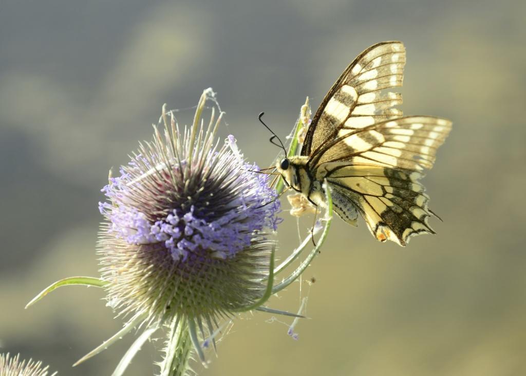 Papillons: trois petits tours et puis s'en vont