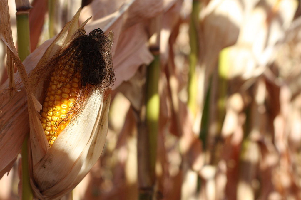 Un papillon résistant aux OGM