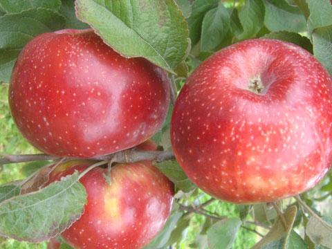 La pomme bio Juliet