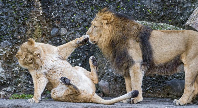 La planète ne compte plus que 35 000 lions africains. © Tambako The Jaguar
