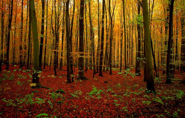 Un hêtre, crédit flickr Vincent Brassinne