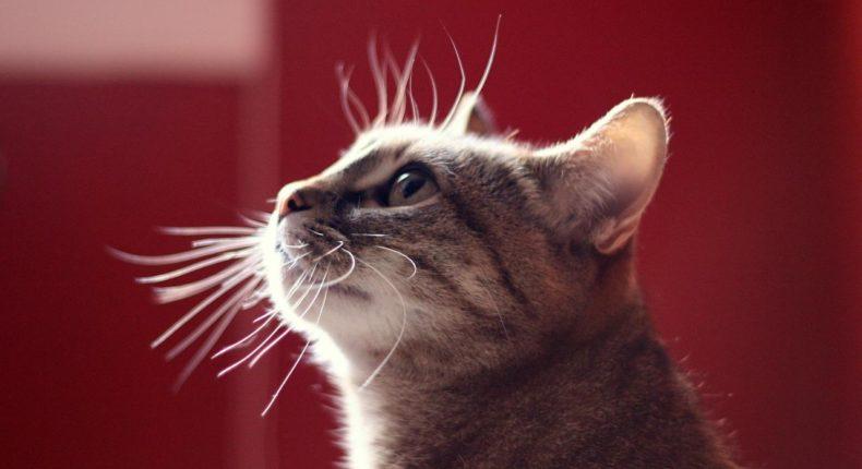 Il y a treize millions de chats en France. © dano272