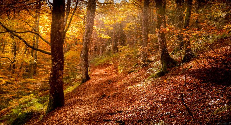 Les belles couleurs automnales de la forêt. © geraldine poisson