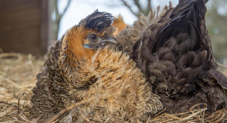 Une poule prenant la pose © Jean-Jacques Abalain