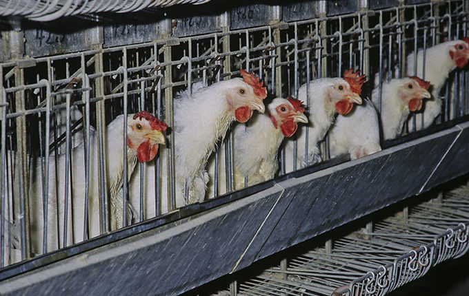 Sur les 50 millions de poules pondeuses en France, 80 % sont élevées en batterie. © INRA DIST
