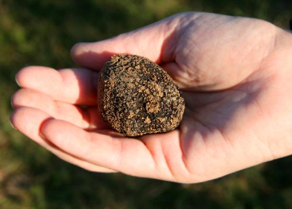 70 % des truffes noires sont récoltées dans le Sud-est de la France. © Couleur Lavande