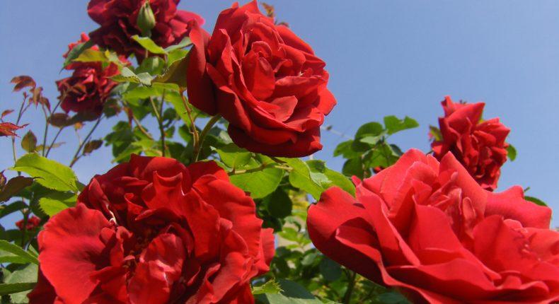 600 millions de roses sont vendues chaque année en France.