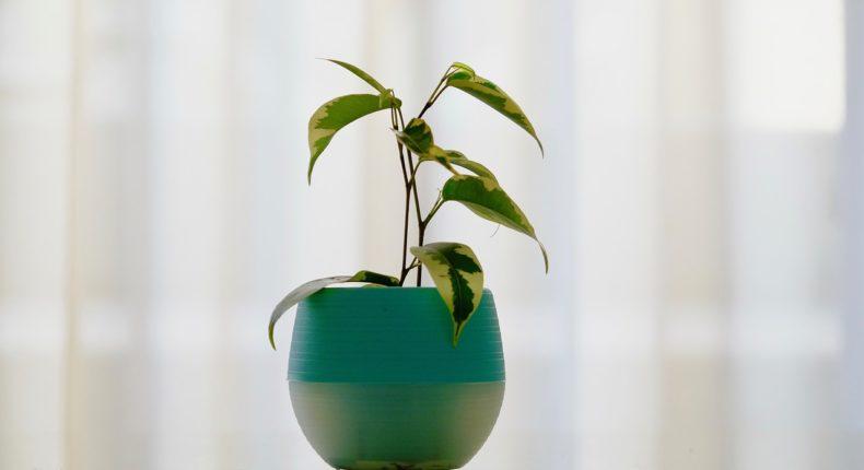 Les plantes ont des capacités dépolluantes en condition de laboratoire.