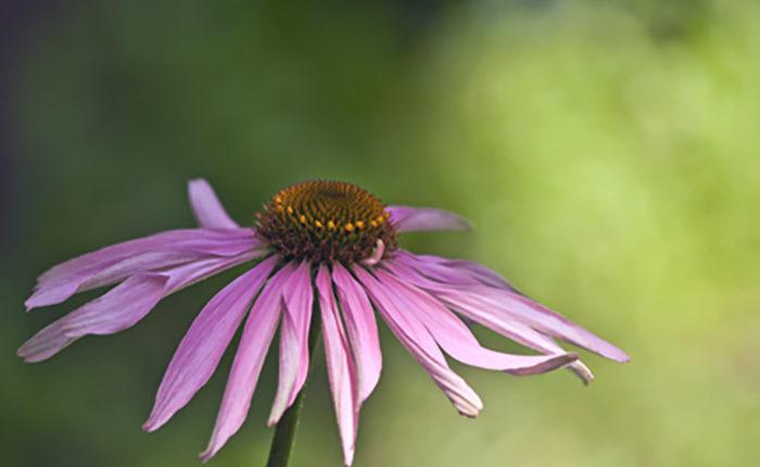 L'échinacée est une plante de la famille des asteracées. © Yves Burnet
