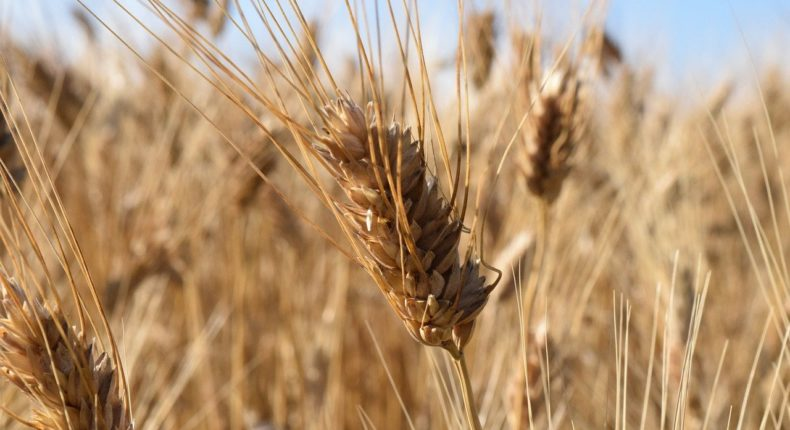 5000 tonnes de blé dur bio sont produites chaque année en France.